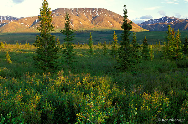boreal forest biome The boreal forest is the world's largest land-based biome spreading over continents and covering many countries, the boreal plays a significant role in the planet's biodiversity and even.